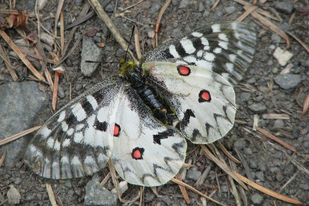 Clodius Parnassian butterfly resting on gravel