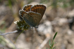 Female L. idas butterfly perched above its host plant (Astragalus miser) on Blacktail Butte (BTB).