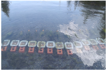 Experimental chambers attached to bricks on stream benthos. Metal stakes in front of chambers intercepted floating algal mats.