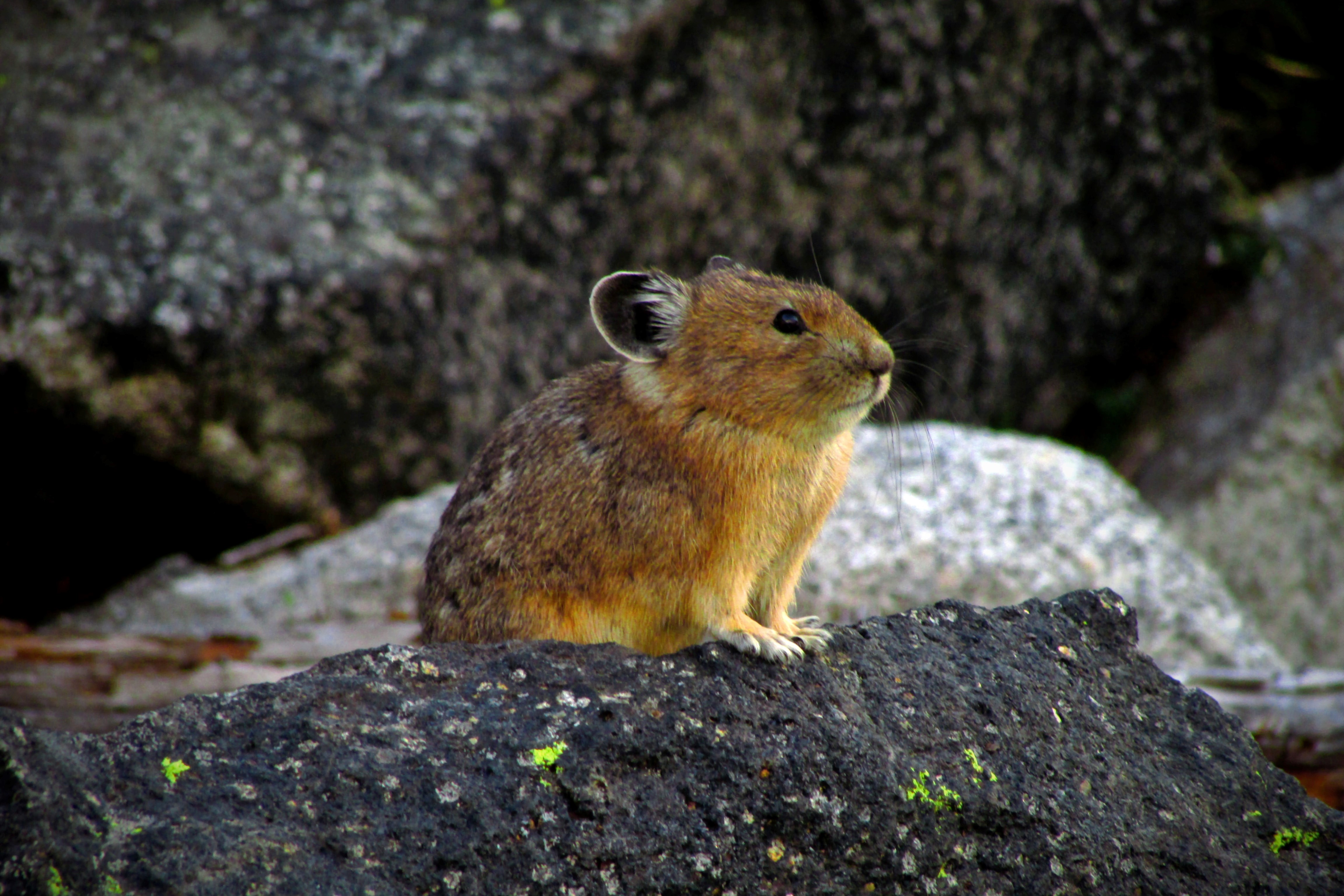 A pika sitting on a rock, looking out for danger