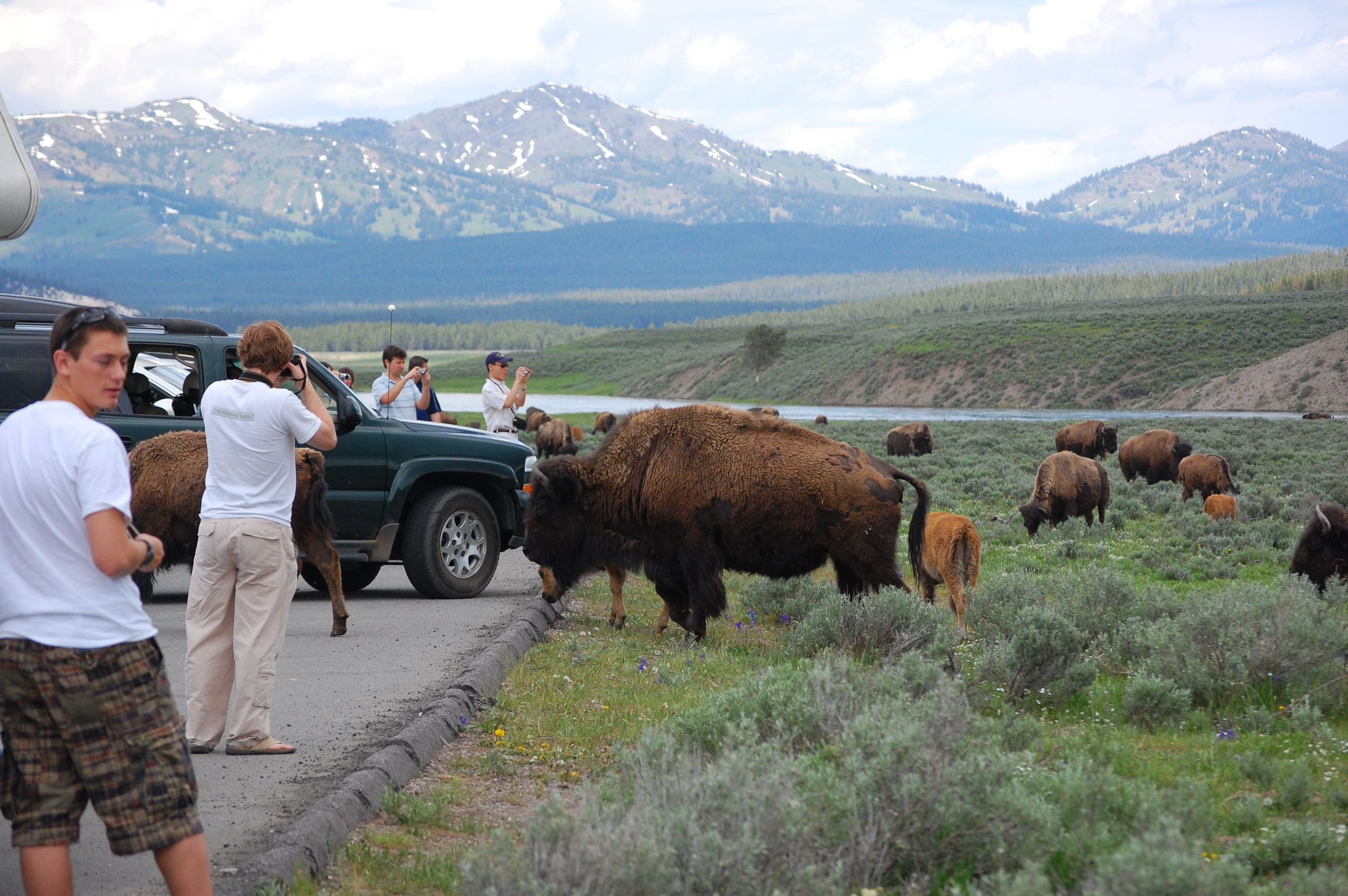 Tourists standing outside of their cars, very close to Bison in Grand Teton National Park.
