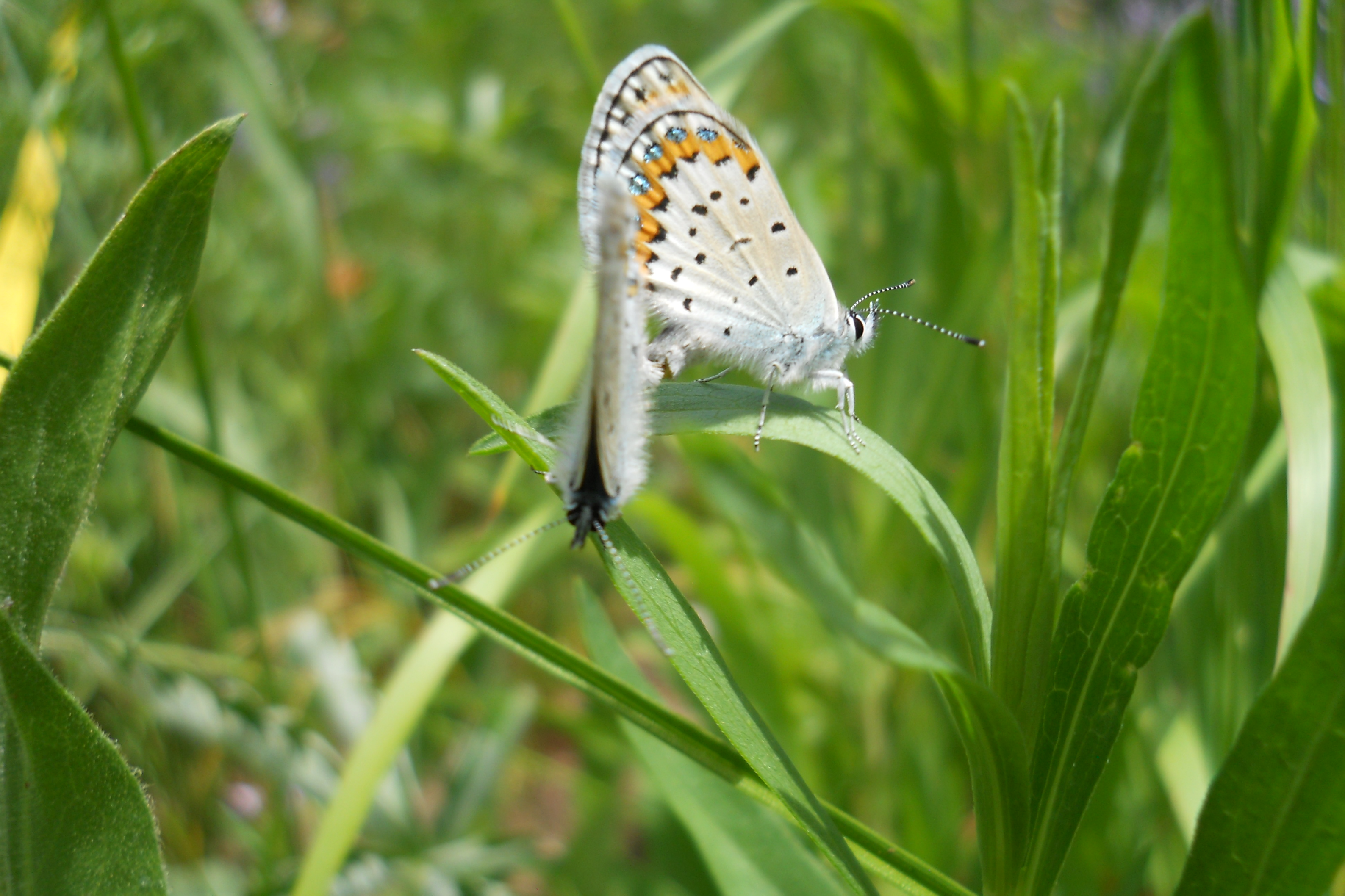 A white butterfly with orange spots sitting on a blade of grass.