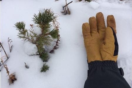 Glove sitting next to snow-covered pine tree