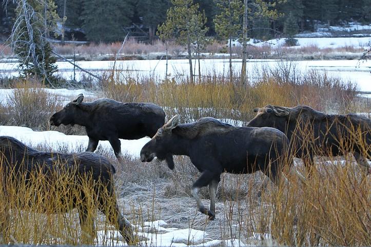 Moose running through an aspen grove