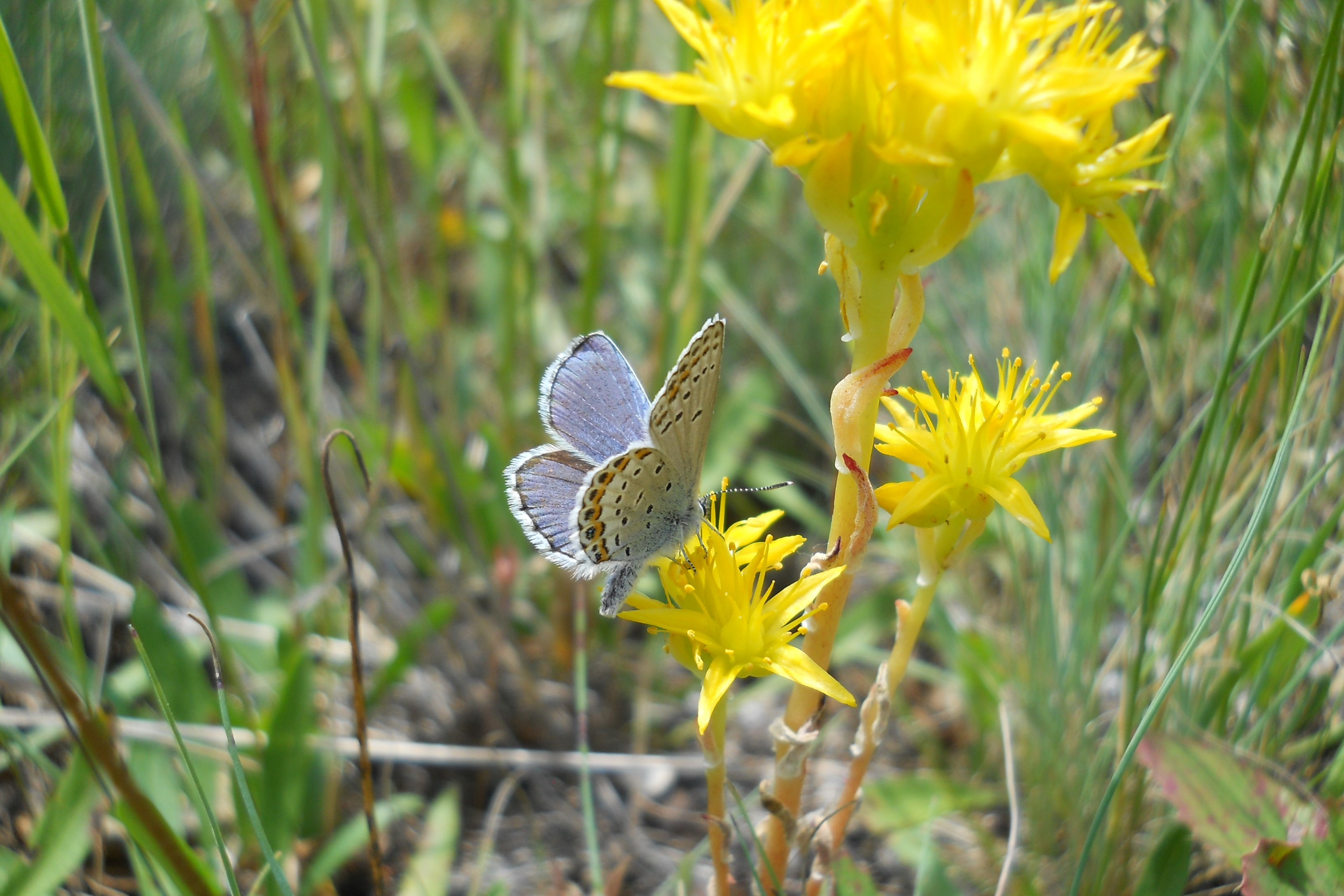 Small white butterfly resting on a yellow flower