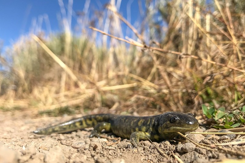 Lizard and dry brown grasses