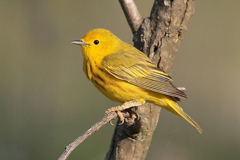Yellow songbird on a tree branch