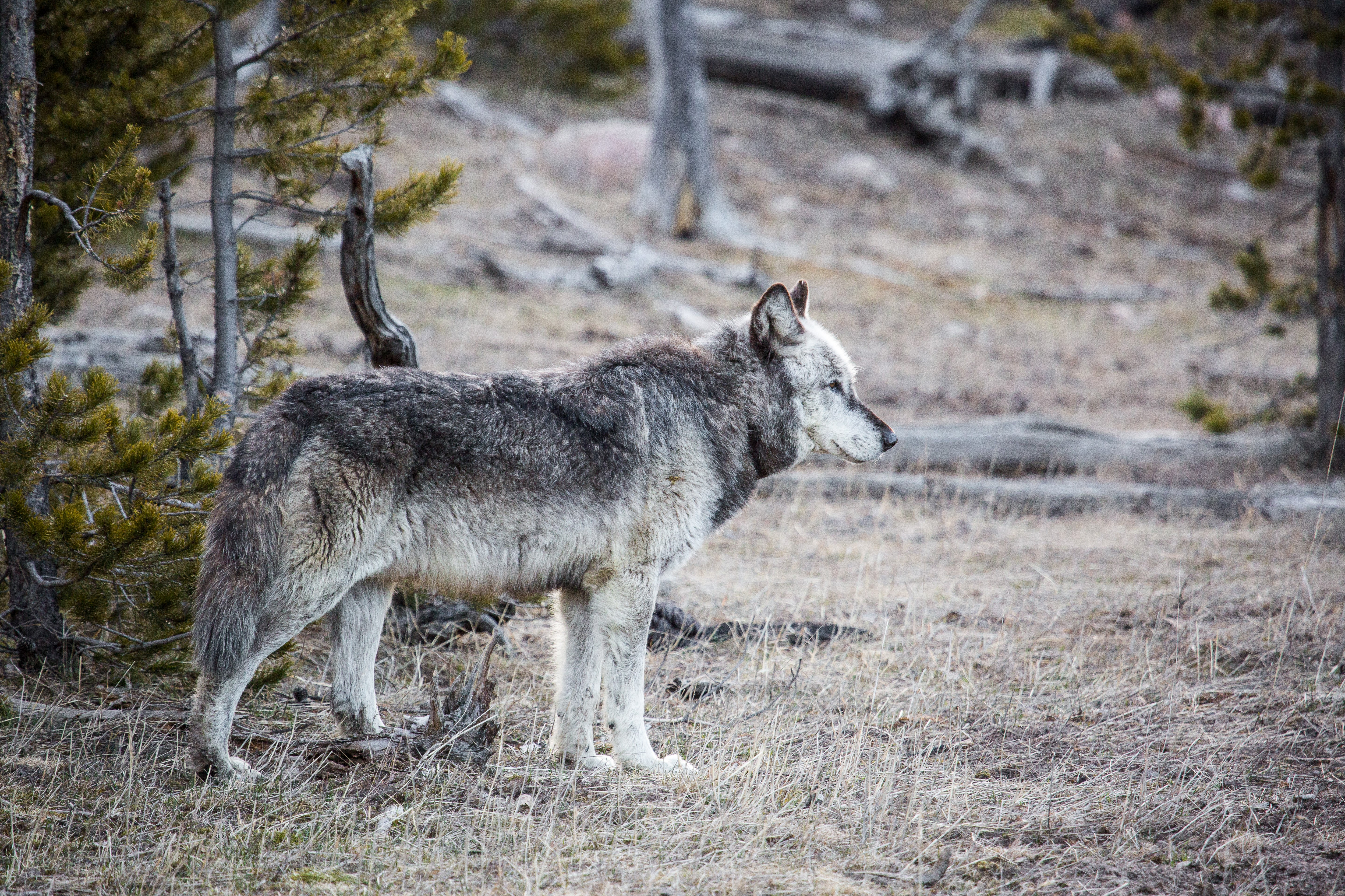 Grey wolf looking right in a Yellowstone forest