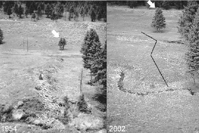 An image split down the center showing a tree marking the end of a beaver dam on the left (1954) and the same tree with no beaver dam on the right (2002)