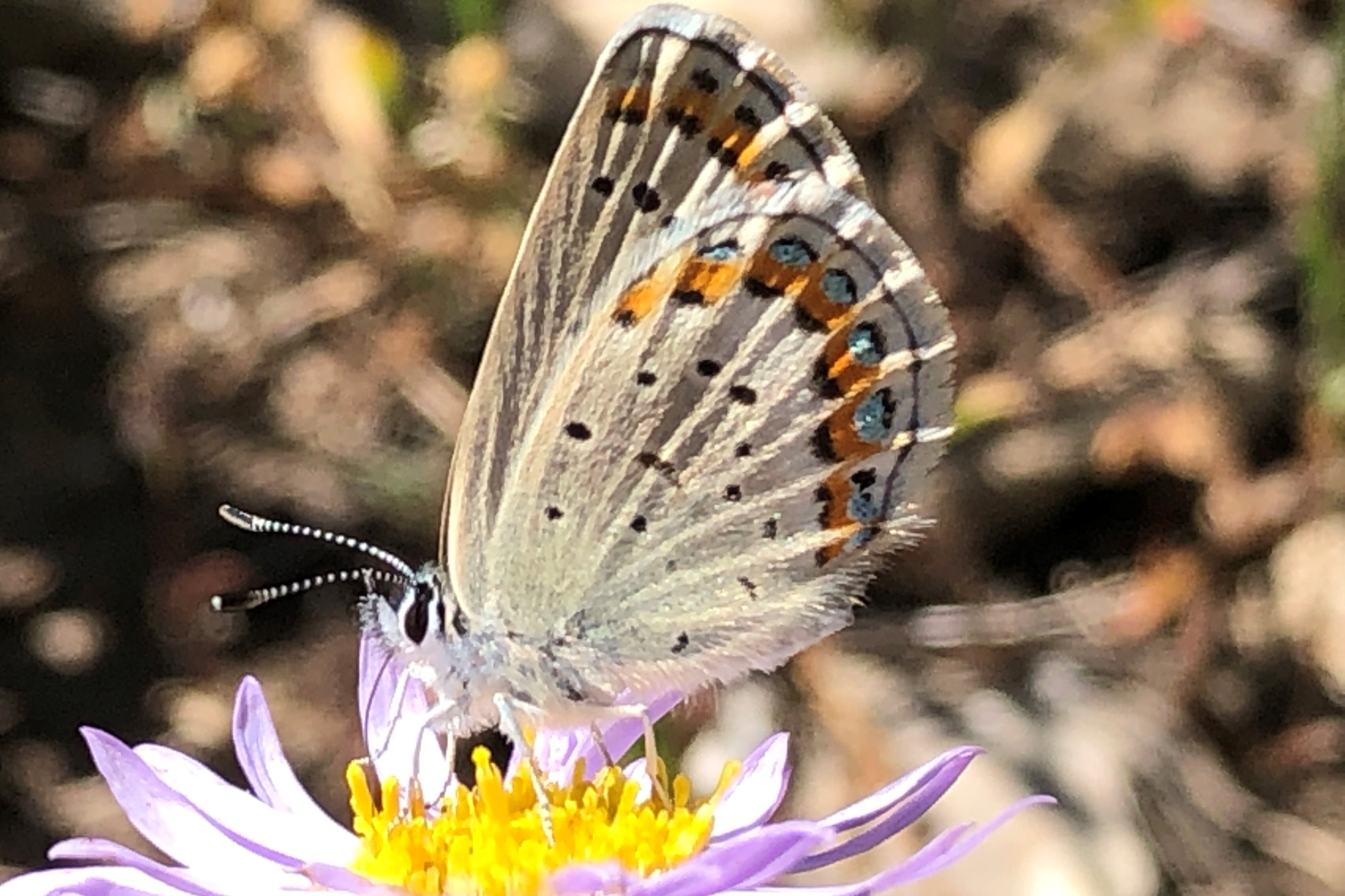 Fuzzy, grey, blue, and orange butterfly on a purple and yellow flower