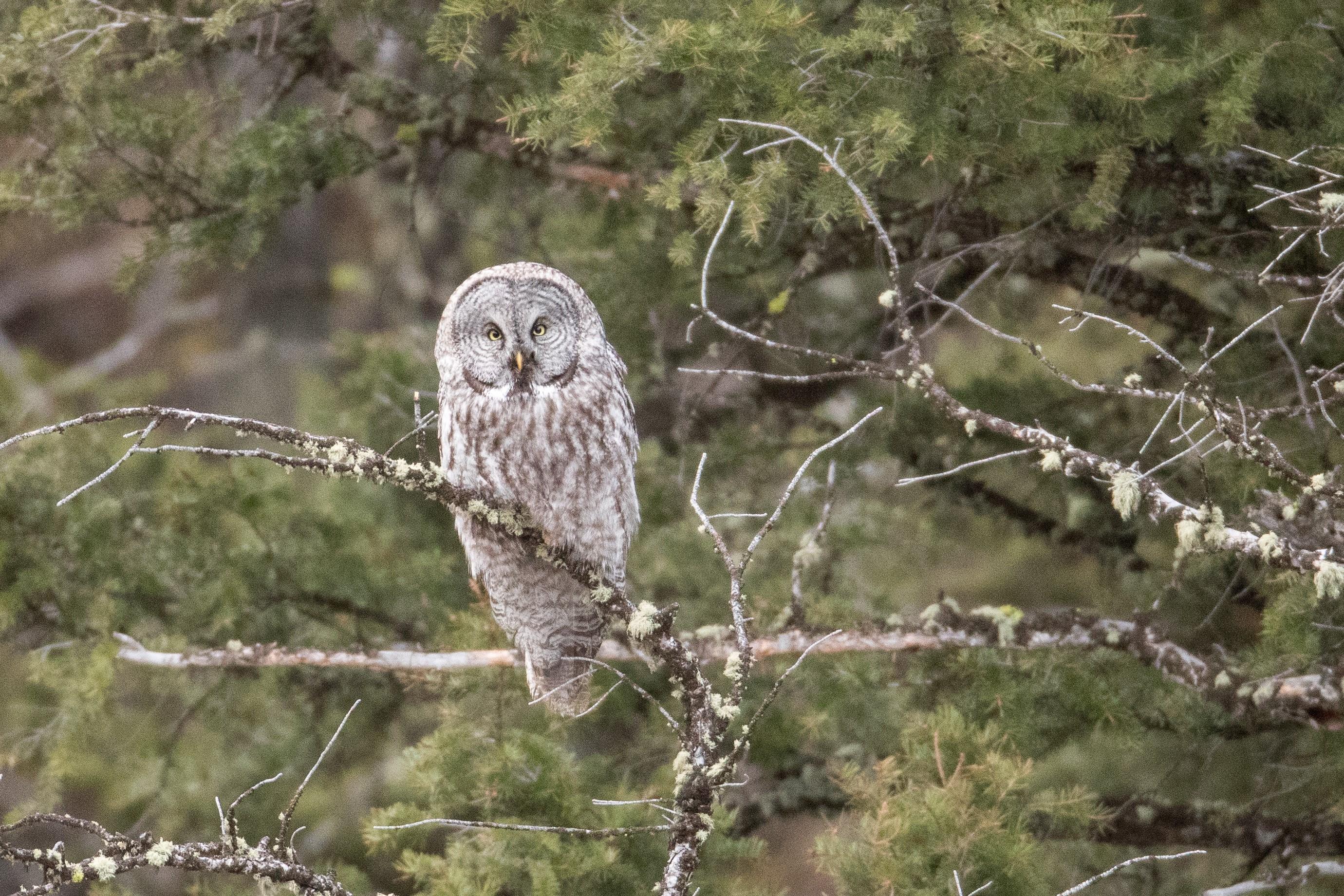 Grey owl on a tree branch
